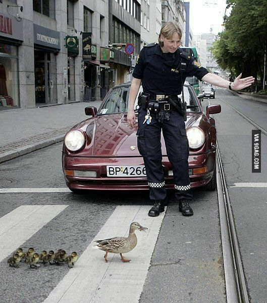 police showing the road to a duck family