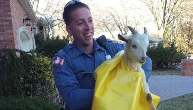 saved goat